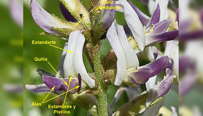 Flores de Glycyrrhiza glabra