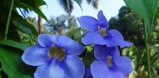 Tumbergia azul (Thunbergia grandiflora)
