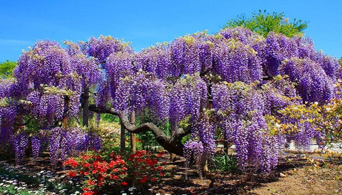 Glicina (wisteria)