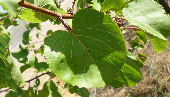 Hojas del árbol de Frutos de Albaricoques
