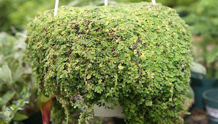Hermosa planta en cesta colgante