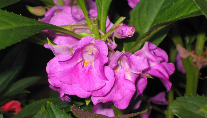 Variedad con flores de color lila