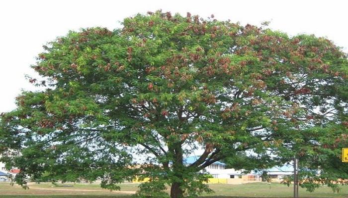 Guaje (Leucaena leucocephala)