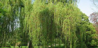 Sauce blanco (Salix alba)