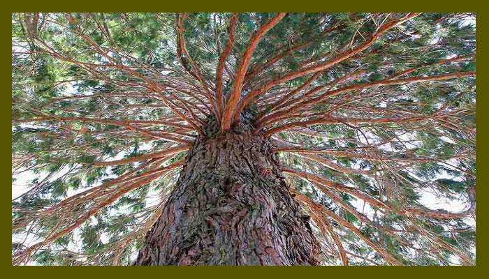 Es un árbol magistral e imponente