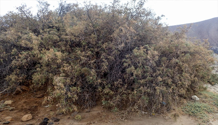 Tarajal (Tamarix canariensis)