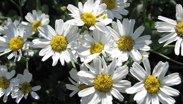 Posee flores parecidas a las margaritas