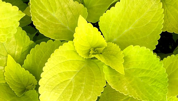 Coleus amarillo