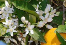 Azahar (Flor de Naranja)