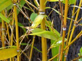 bambú amarillo