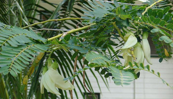Sesbania grandiflora