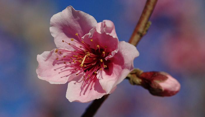 Flor de albaricoque