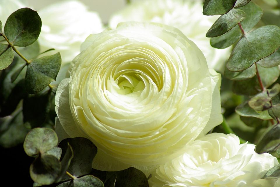 flor ranúnculus