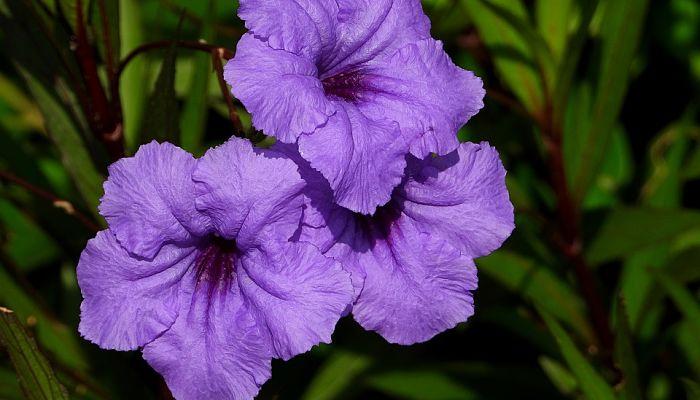 flor convolvulos