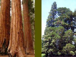 Secoya gigante (Sequoiadendron giganteum)