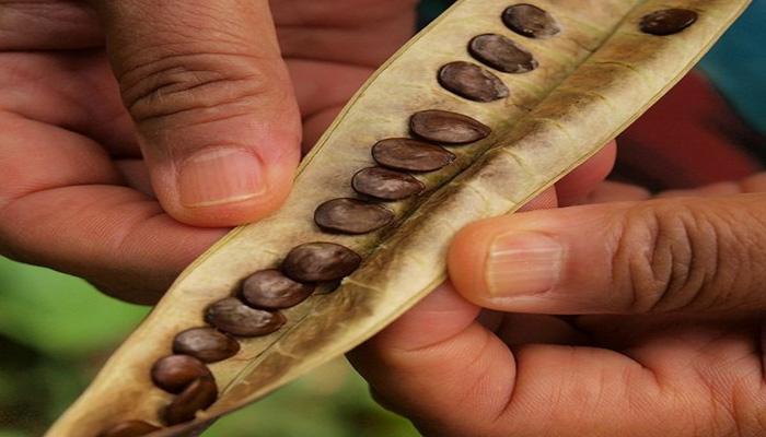 semillas-de-Leucaena-leucocephala