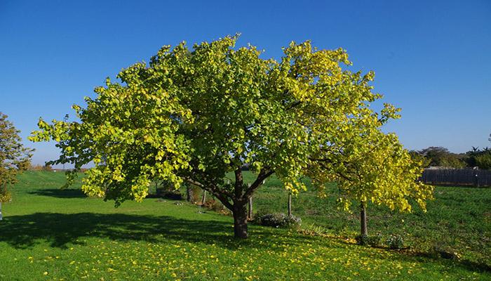 Árbol de Prunus armeniaca