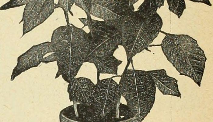variedades de kikuyo