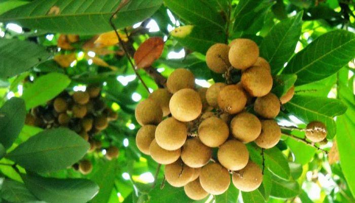 Fruta de longan