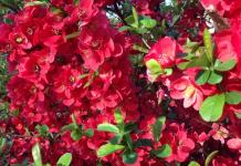 membrillo floreciente