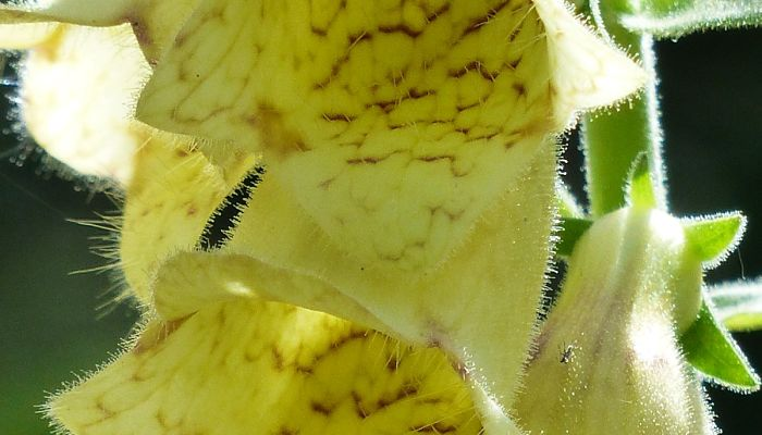 flor de floxglobe