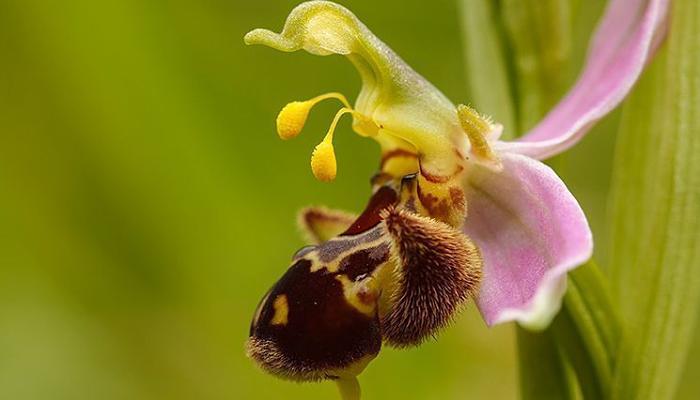 orquídea de abeja