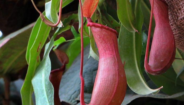 plantas jarra