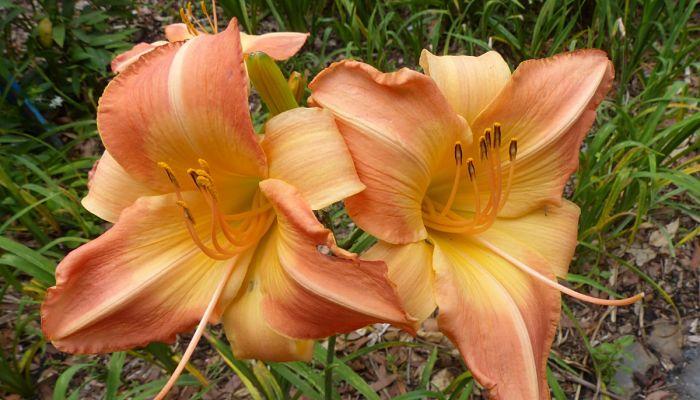 lily crecientes