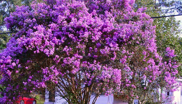 Los árboles mirto crespón tienen una gran belleza natural, capacidad de recuperación y la mínima necesidad de cuidado