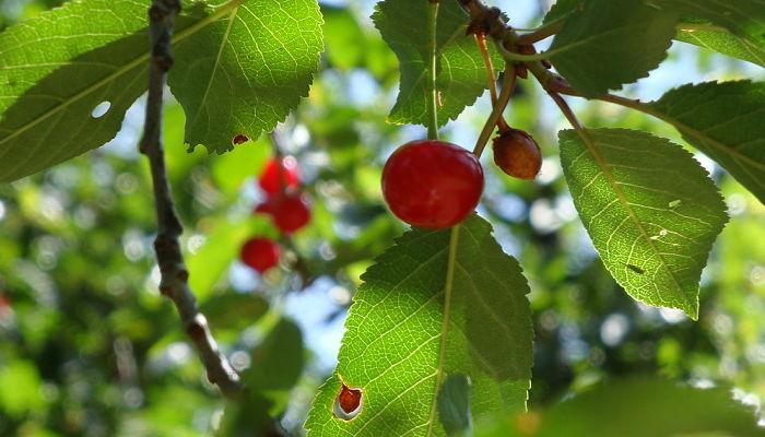 propiedades y beneficios del cerezo ácido