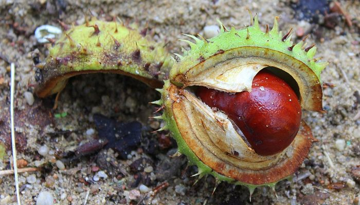 propiedades y beneficios del árbol de la castaña