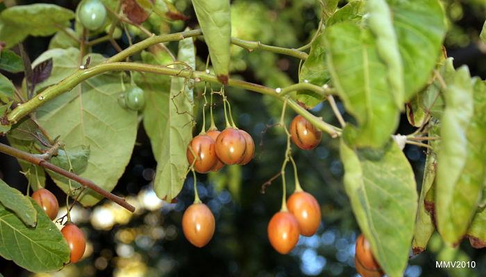 propiedades y beneficios del árbol del tomate