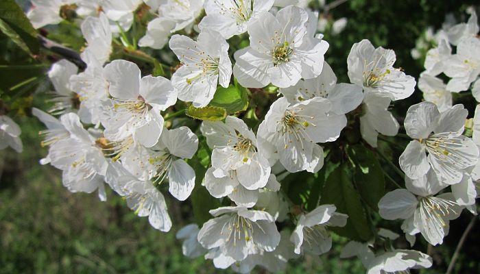 propiedades y beneficios del cerezo guindal