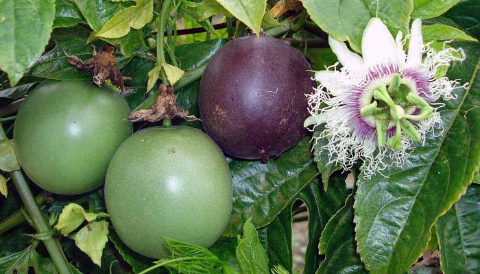 propiedades y beneficios del fruto de la pasión