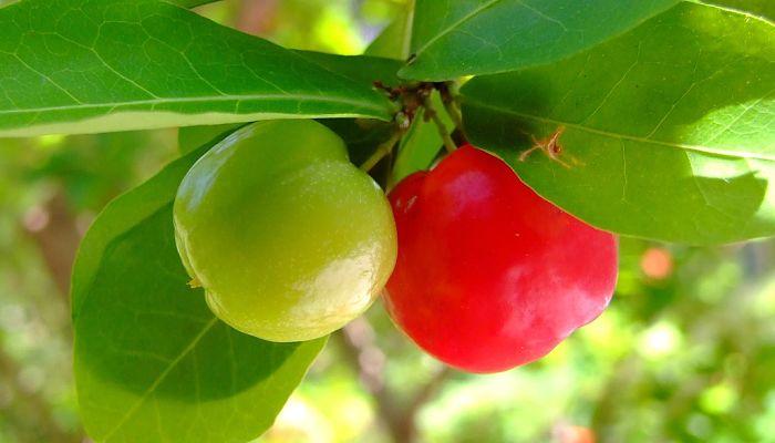 propiedades y beneficios del acerollo