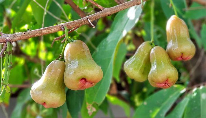 propiedades y beneficios de la manzana rosa