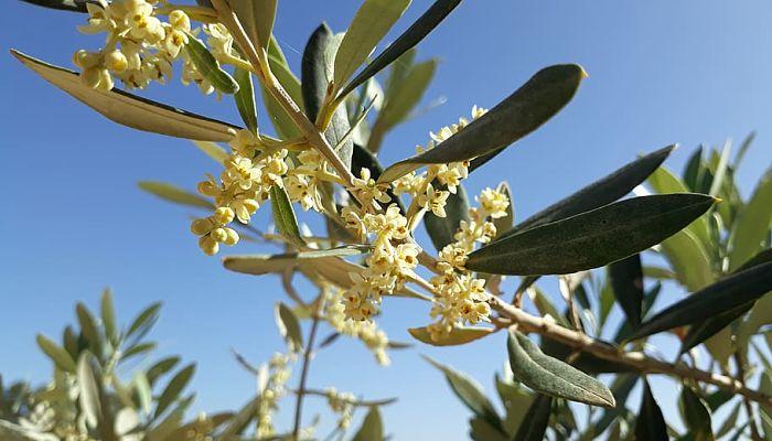 propiedades y beneficios de la oliva