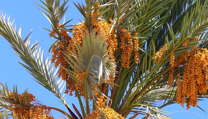 propiedades y beneficios de la palmera datilera