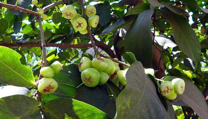 propiedades y beneficios de la pomarrosa