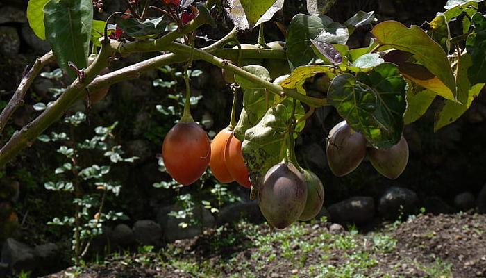 propiedades y beneficios del tomate arbóreo del perú